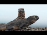 Iguana chased by snakes - Planet Earth II Islands - BBC One