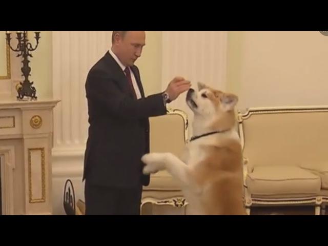 Сторожевая собака Путина по кличке Юмэ. О породе Акита- ину