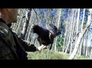 глухарь токует на руке Wood grouse in the hand Wildlife Belarus