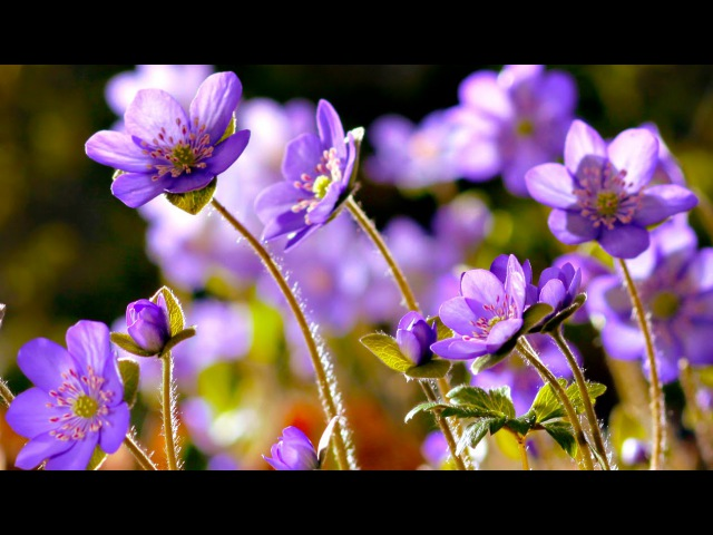 FLOWERS CAN DANCE Amazing nature/ Beautiful blooming flower time lapse video