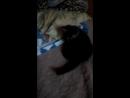 бешеной сибирский кот