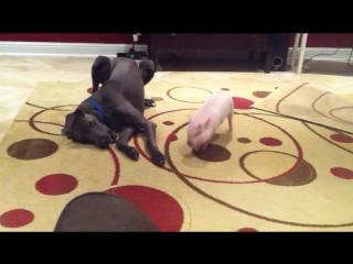 Веселый мини-пиг и ленивый пес