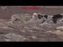 Собака против волк