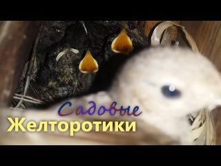 Голодные птенцы ютятся в гнезде