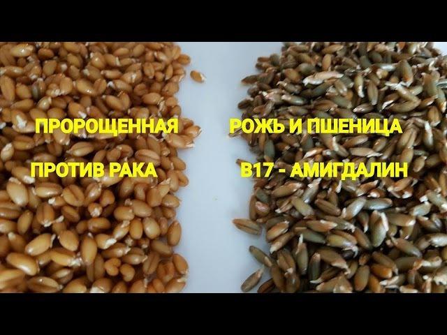 Как правильно прорастить рожь и пшеницу Полезные советы Читайте под видео смотреть онлайн без регистрации