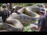 Wow Giant anaconda snake attacks human - Most amazing wild animals attacks Trăn và người