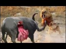 lion vs buffalo fight to death - most amazing animals attack - Trâu giết sư tử