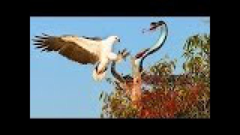 Bird wild animals attack - Snake vs Eagle - Rắn hổ mang đại chiến vua đại bàng , chồn , Lửng mật.