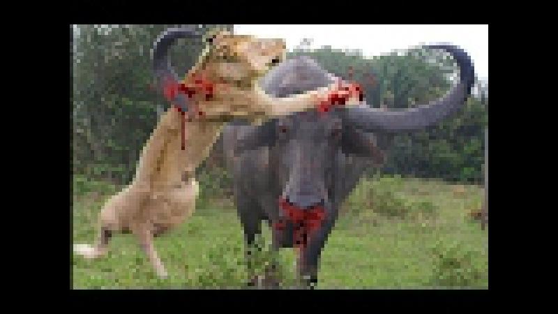 Cuộc chiến vua sư tử và trâu rừng cái kết khi trâu lội nước - Lion vs buffalo