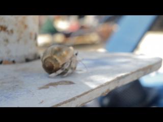 Краб. Красное море) Хургада.