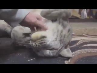 Рысь тоже кошка:)