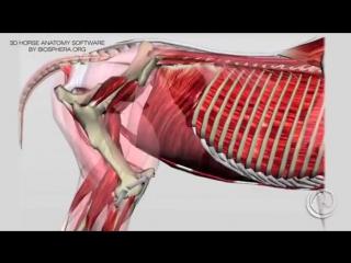 Биомеханика работы спины лошади #EuroHorse
