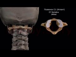 Шейный отдел позвоночника - самый мобильный в теле человека! #остеопатия