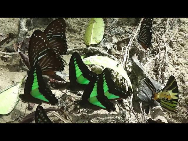 Бабочки-парусники Papilionidae Национальный парк Гунунг Лёсер (Суматра Индонезия)
