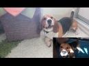 Иногда бигли сходят с ума Sometimes beagles go crazy