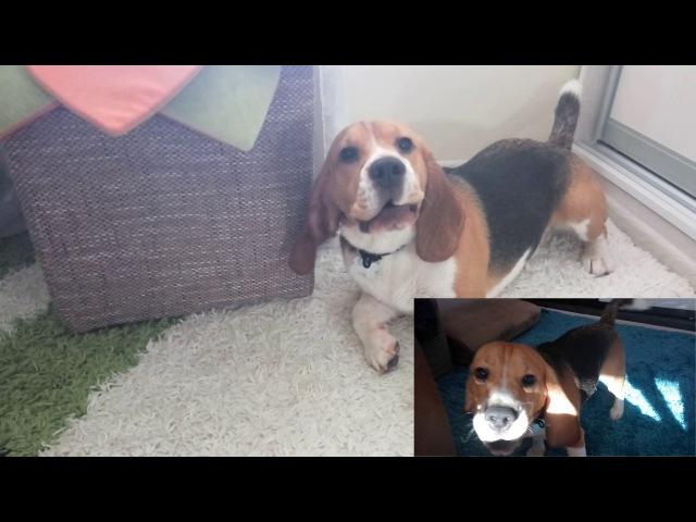 Иногда бигли сходят с ума || Sometimes beagles go crazy
