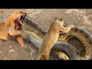 Serpentes vs Lion vs Anaconda  vs Leopard vs Snake - Hổ Báo Đại chiến Rắn ăn thịt người