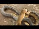 Lion vs Snake Fight to death - Amazing lion attack - Sư tử đại chiến trăn thành tinh