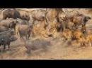 Sư tử đại chiến hà mã trâu rừng - Léon vs búfalo - Lion hippo fight to death