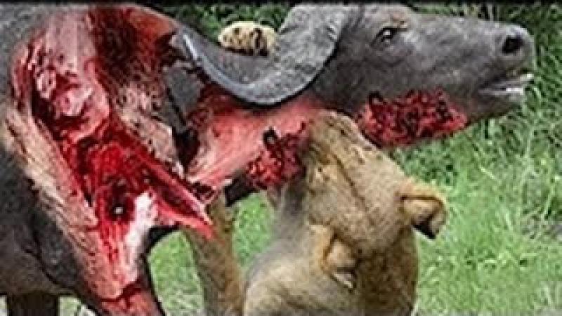 Vua sư tử bị cả đàn trâu đè bẹp cho đến chết cái chết khắm của sư tử Lion vs buffalo
