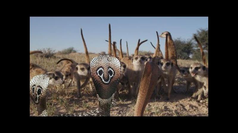 Vua rắn độc đại chiến rắn hổ mang Cầy chồn báo cáo - King snake X mongoose vs Fox vs rattles