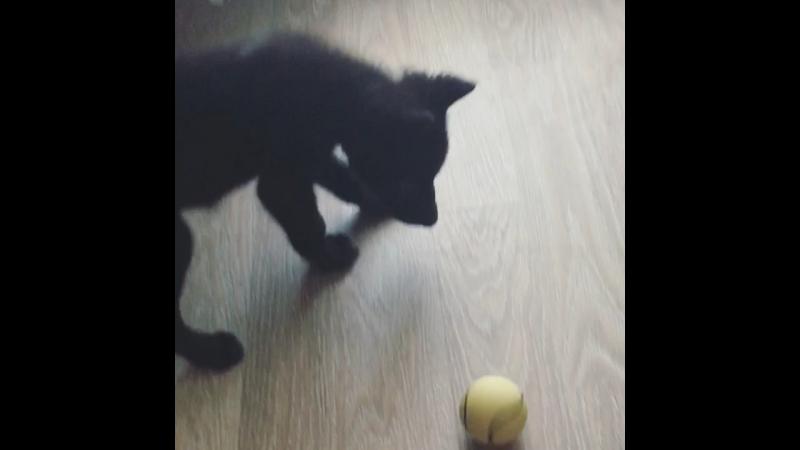 Blacky принёс мячик