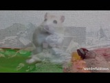 Hamster Vietnam Flashback