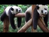 Taking care of cute panda bear in zoo - giant, cute panda for kids