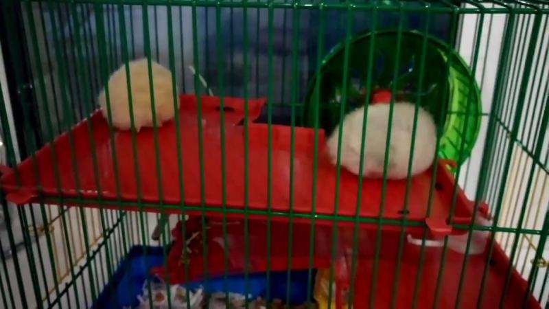 Наши хомячки (снежа и перся)