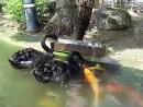 черный лебедь кормит золотую рыбку