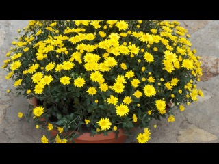 Хранение хризантемы