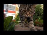 Как правильно гулять с котом; How to correctly walk a cat