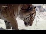 ARTE France Le Tigre de Sib
