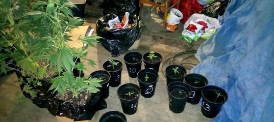 Житель Усть-Илимска задержан за выращивание конопли в гараже