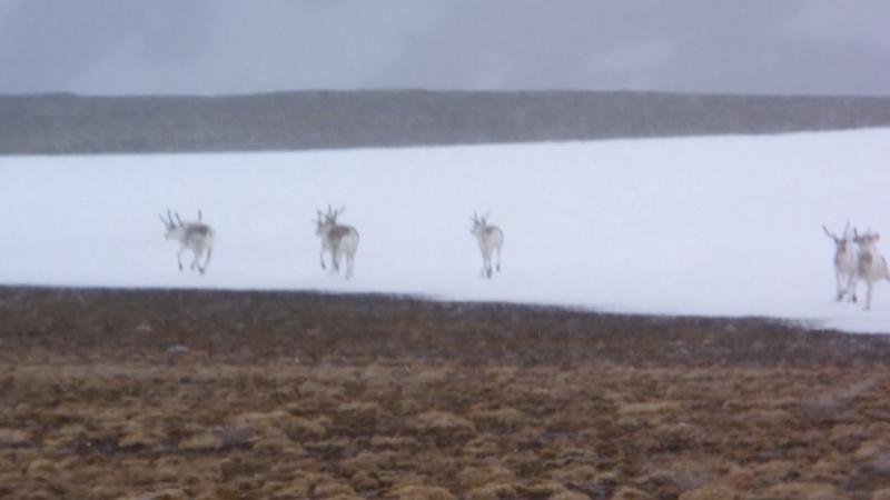 Группа диких оленей встреченная в снег и ветер