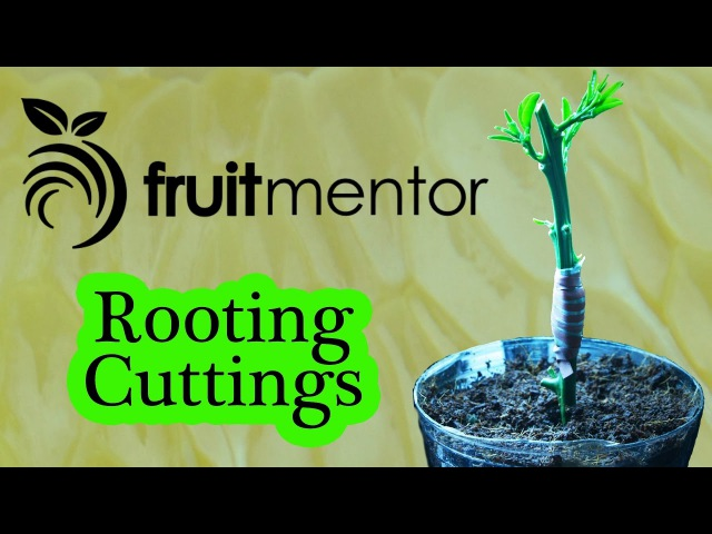 Growing Citrus from Cuttings – Rooting and Grafting Citrus in One Step