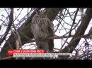 У середмісті Дніпра оселились два десятки вухатих сов