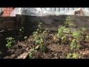 Супер способ выращивания томатов в открытом грунте ( в компостнике )