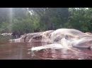 Ikan Besar Terdampar di pantai anakotao Hulung Des