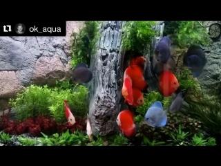 Дискусы-Короли аквариума