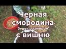 Уход за черной смородиной осенью рыхление подкормка обрезка мульчирование черенкование