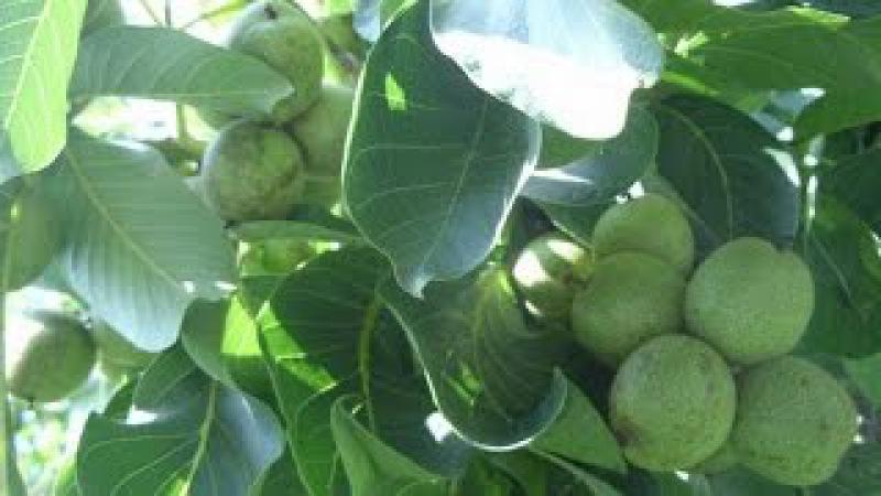 Прививка взрослого дерева грецкого ореха черенками