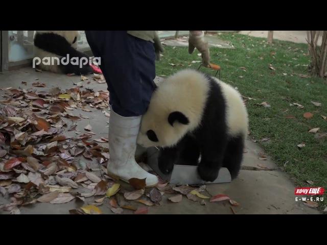 Малыши панды мешают убирать листья