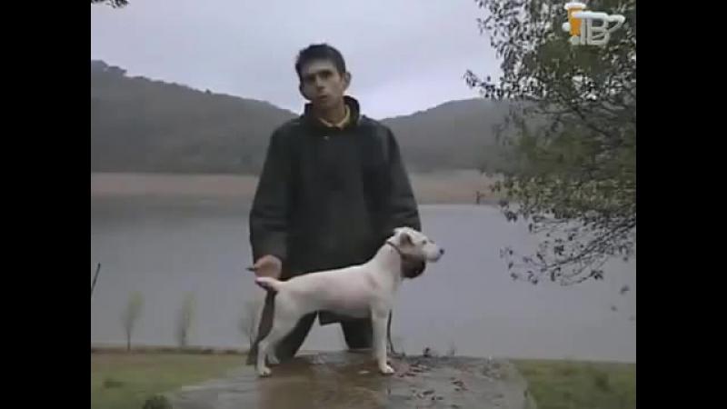 Охотничьи Собаки Джек - рассел - терьер