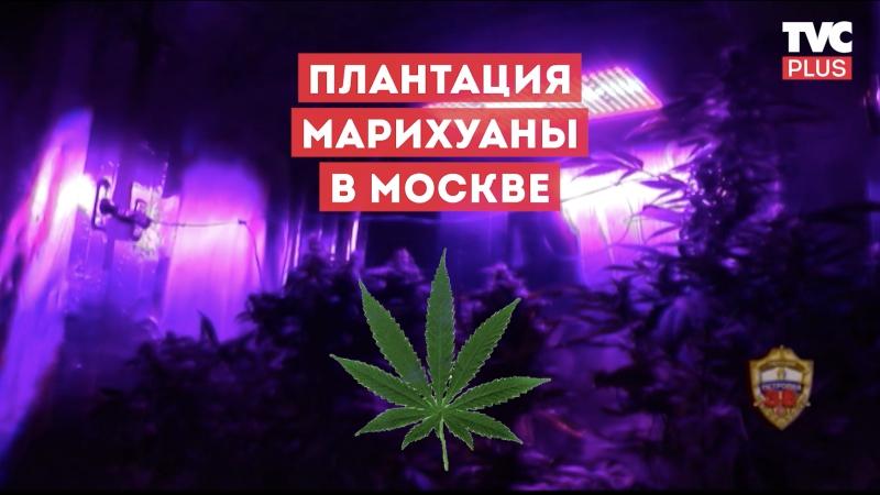 Плантация марихуаны в Москве