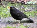 Голоса птиц. Черный дрозд.