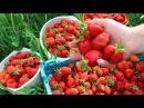 Выращивание Клубники. Как Получить Крупную Ягоду. Важные Шаги Летом.