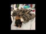 Ветеринарам еще не приходилось иметь дела с кошками в таких дредах