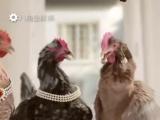 Китайский прикол про Новый год поющие курицы и петух - YouTube