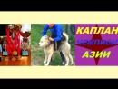 1-й ролик про известных волкодавах Казахстана!